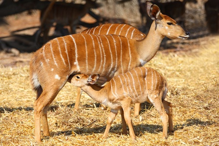 Little  impala antelope  trying to eat from his mom Stock Photo - 11219659