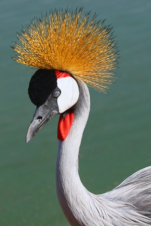 crowned crane beautiful colored bird Stock Photo - 11219670
