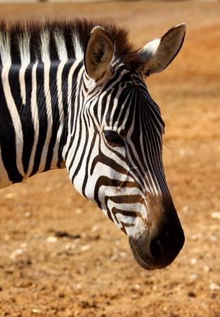 portret of African zebra
