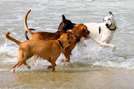 perros jugando: perros jugando y chapoteando en agua en la playa