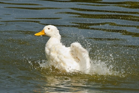 white duck swimming in the lake  photo