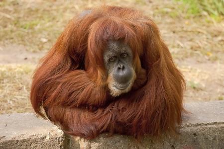 A cute adult Orangutan Stock Photo