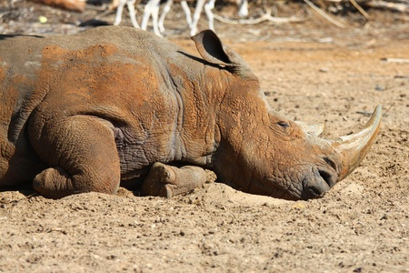 penned: A white rhino sleeping in the Zoo