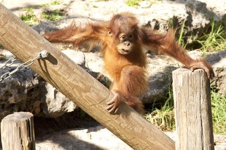 orangutang: baby orangutan get playing