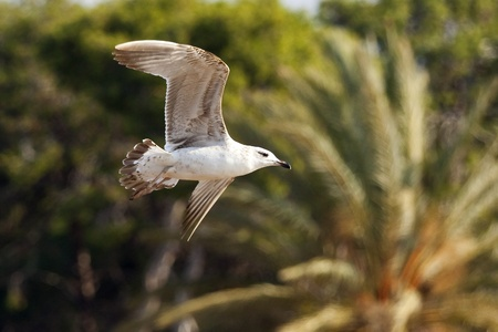 flying seagull in action Stock Photo - 12721926