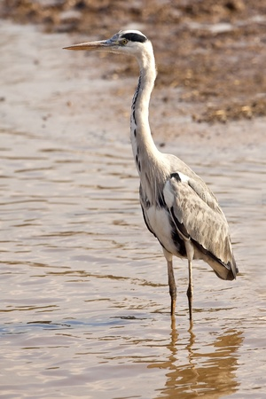 bald ugly: Great White Heron standing in the  water