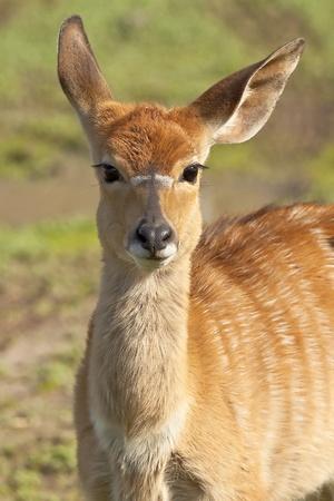 portret of  antelope Kudu