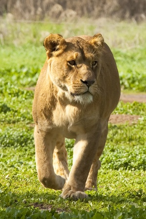 Lioness in the wild photo