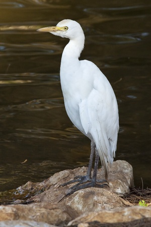 bald ugly: Great White Heron standing on the rock Stock Photo