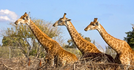 Three giraffes posing  photo