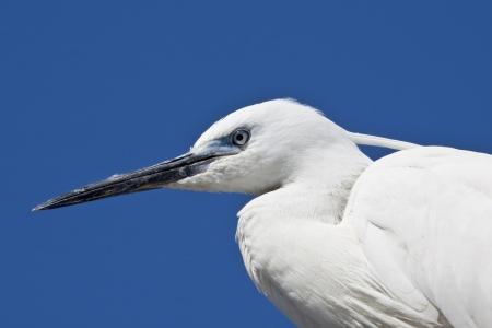 ardeidae: portret of beautiful White Egret