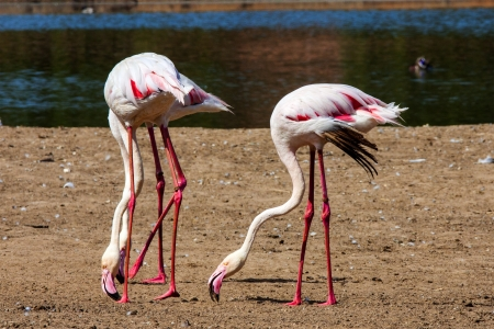 flamenco ave: grupo de la hermosa Flamingos Pink