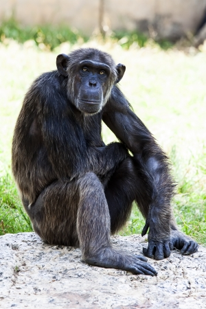 Chimpanzee sitting on rock  photo