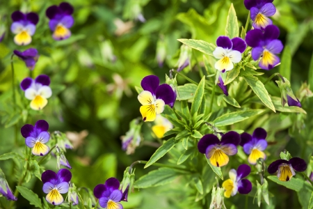 Purple pansies closeup photo