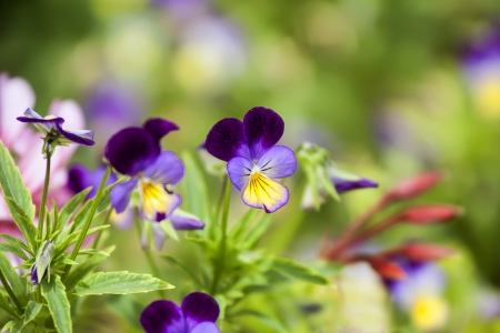 Purple pansies closeup  photo
