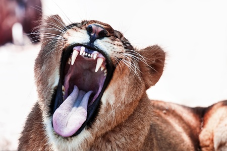 Lioness with open mouth photo