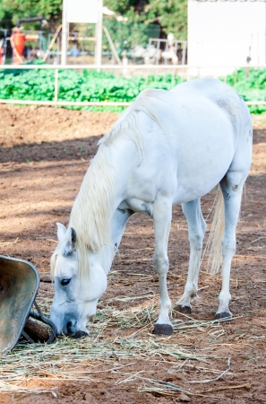 Cute white horse eating grass in summer photo