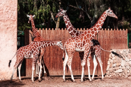 A group of giraffes photo
