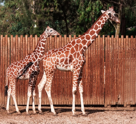 A pair of giraffe photo