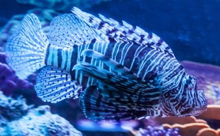 Lionfish (Pterois volitans) a venoumous stinging fish Stock Photo - 21870367