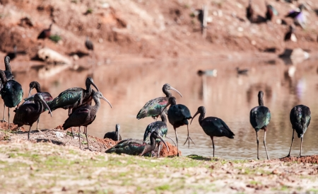 group of white-faced Ibis photo