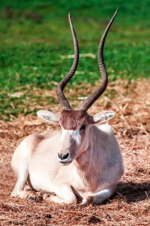 scimitar: Scimitar Horned Oryx in zoo