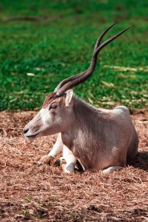 food fight: Scimitar Horned Oryx in zoo
