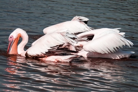pelecanidae: group of great white pelicans