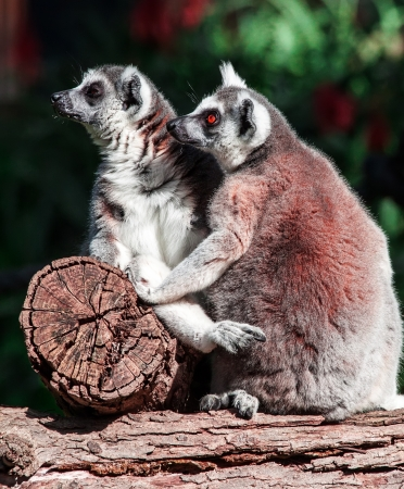 pair of lemurs sitting in a funny pose photo