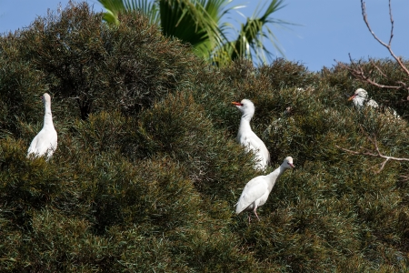 egrets: Great white egrets in their natural habitat