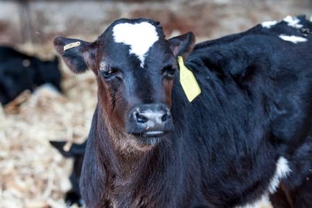 black cow in milk farm photo
