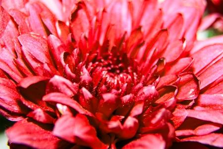 Chrysanthemum flower and beautiful petals