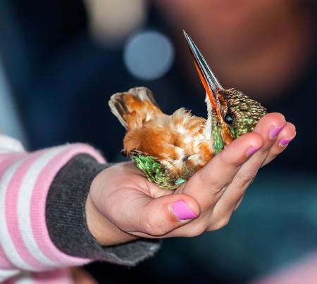 coraciiformes: Common kingfisher bird lies on the arm like a dead