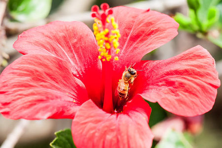 bee on flower: honey bee collects flower nectar
