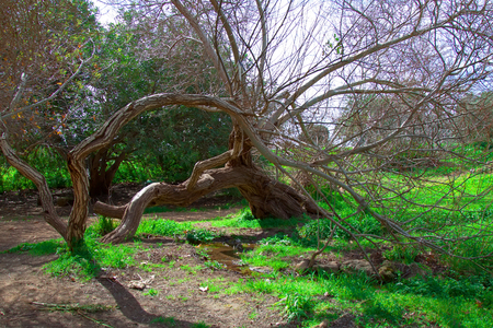 Naked birch tree