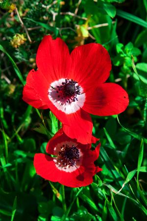 Anemones bloom in  Israel
