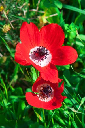 negev: Anemones bloom in  Israel