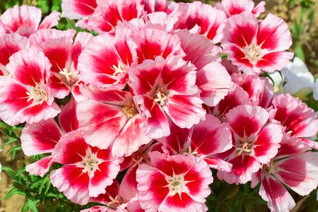 pansies in garden Stock Photo
