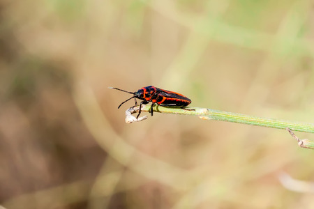 graphosoma: Graphosoma lineatum Strip bugs Stock Photo
