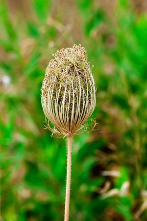 desert wild flower rampion