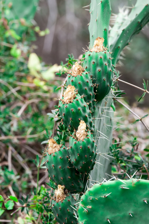 prickly pear: Tzabar cactus, or prickly pear Stock Photo