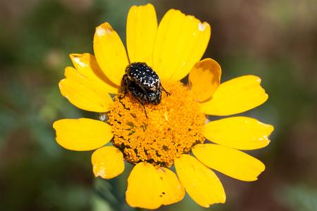 bug on chrysanthemum flower
