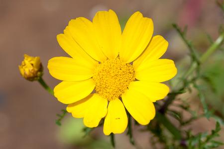 chrysanthemum flower Stock Photo