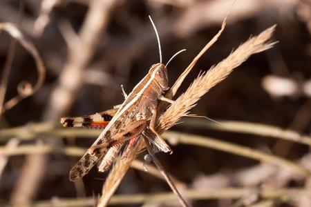 Meadow Grasshopper (Chorthippus parallelus)