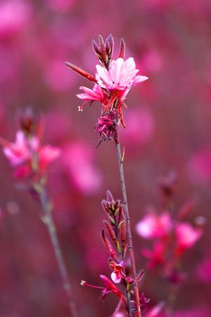Gaura lindheimeri beautiful pink flower Stock Photo