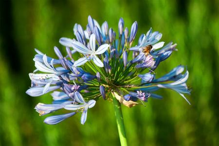 Muscari blue flowers