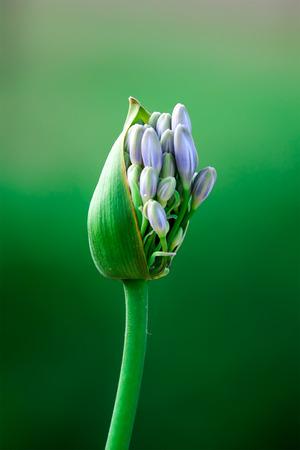 Big budding flower Stock Photo