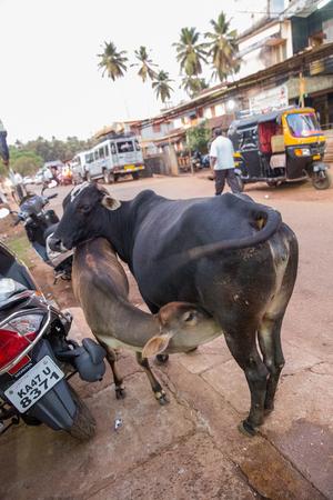 calf sucks mothers milk from a cow. Gokarna.  India.