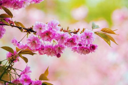 Blossom of sakura - cherry in Europe. Japanese garden of Hasselt . Belgium April 19 Zdjęcie Seryjne