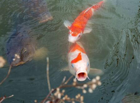Fish Carps  KOI in pond  of  Tokyo .  Left two very  big fish of  dark  color . Orange  one  open mouth for food !